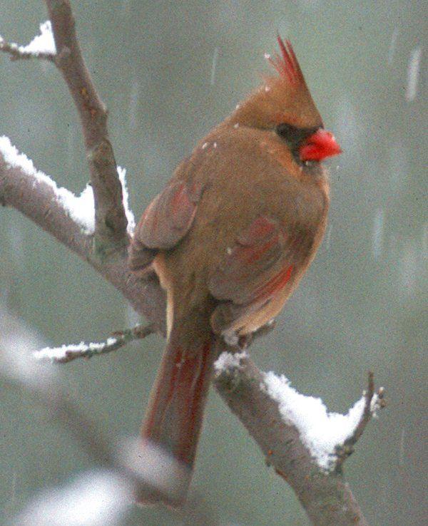 cool female cardinal