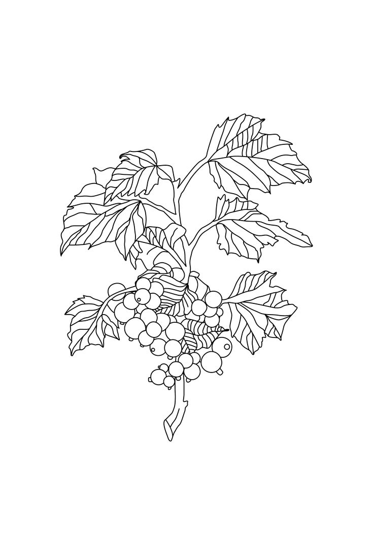 Camille Co. Blackcurrant & Vanilla botanical drawing by Design by Cheyney