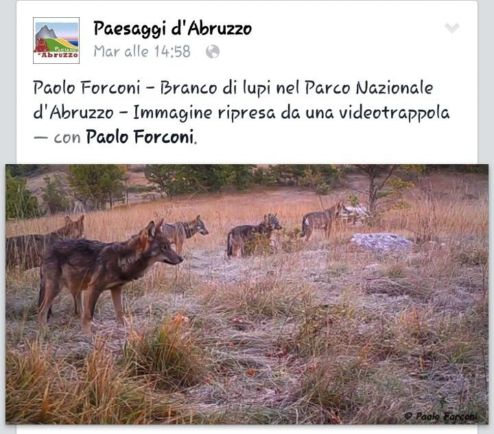 Wolves in National Park of Abruzzo