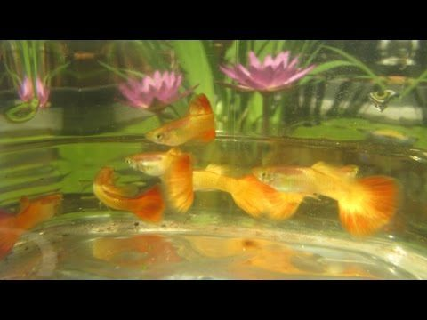 Raising Water Lilies and Guppies in Water Gardens, Tub Size & Setup - YouTube