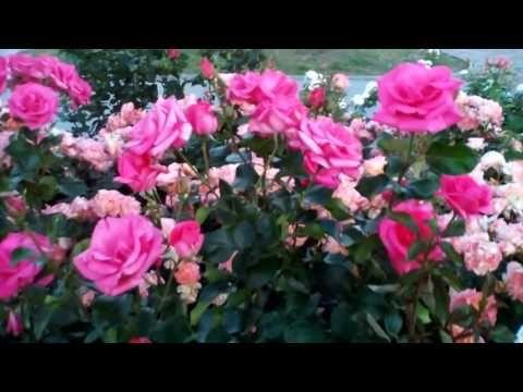 Июньские розы - YouTube