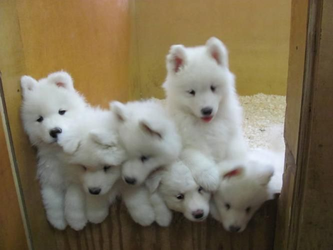Precious Samoyed puppies. Reminds me of Akita when she was a little one.