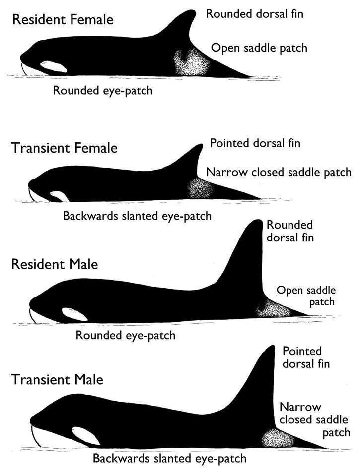 Pin on Killer Whales and more