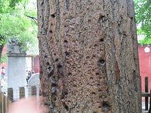 Shaolin Monastery - finger punch marks in tree