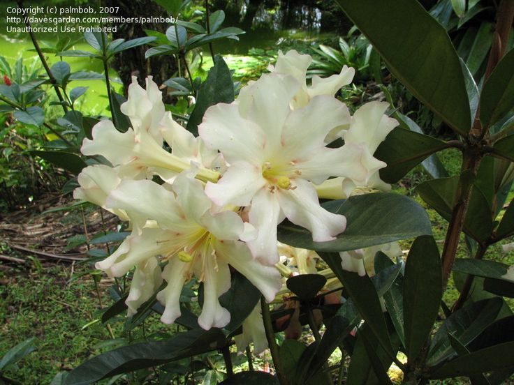 Vireya Rhododendron | PlantFiles: Picture #1 of Vireya Rhododendron St. Cecelia 'St. Cecelia ...