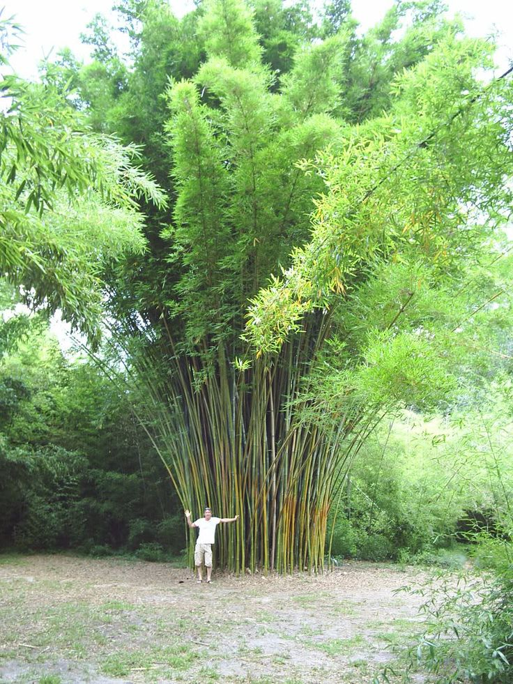 bambusa textilis - Google Search