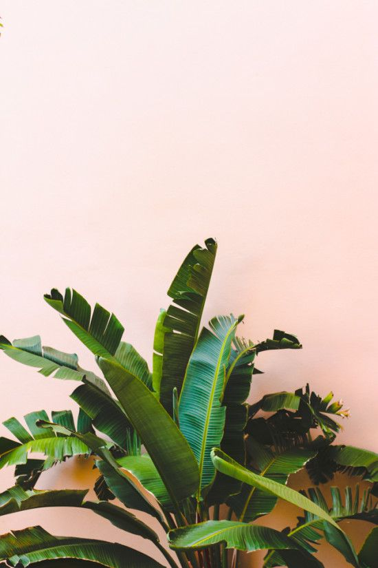 : Colour, Green Palms, Palm Leaf Photography, Palm Trees, Jungle Plants, Pink Wall, Green Leaves Photography, Tropical Flowers