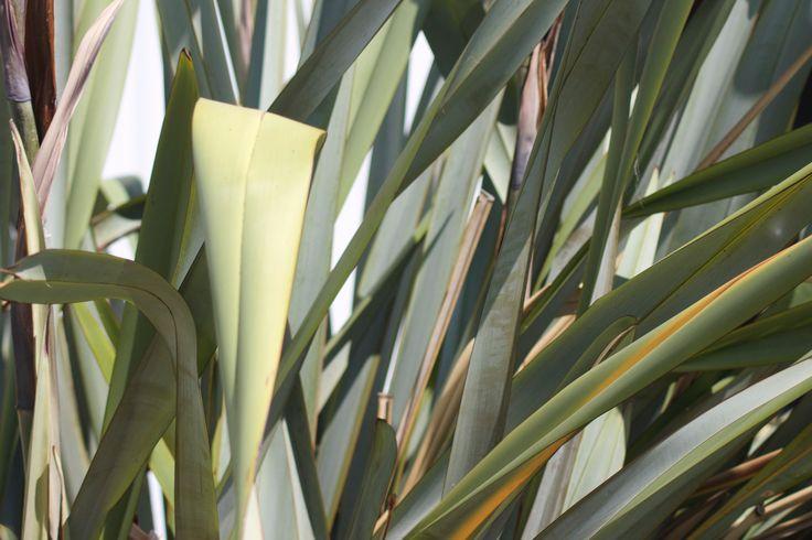 New Zealand Flax Bush #Nature #Native New Zealand
