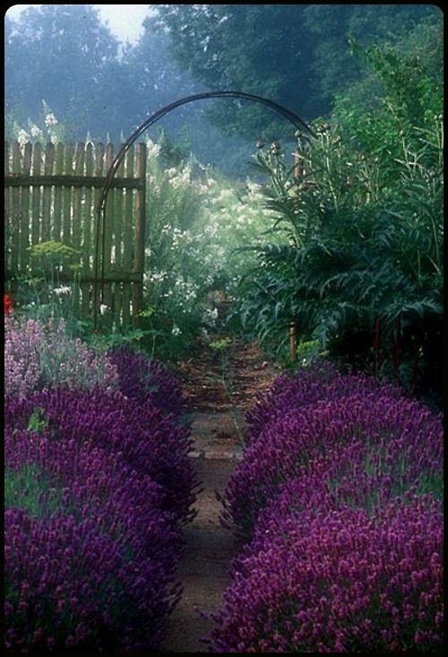 garden Hidcote #lavender hedge in the potager at Jardin de Plume, #Normandy, France.