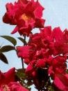 eens proberen door naheduft    Rosa 'Allen Chandler'  Klimroos, doorbloeiend  fluweligrood  hoogte: 400 cm.  oranjerode bottels die in de zomer beter verwijderd kunnen worden voor betere herbloei  zon goede grond  ALLEN CHANDLER De lange knoppen ontluiken tot schitterende, donkerrode bloemen. Deze roos heeft donker gezond blad. De bloei is vroeg in het seizoen en zeer rijk. Later volgt een iets minder rijke bloei. Na de bloei scharlakenrode bottels. Een lichte zoete geur. 300 cm.