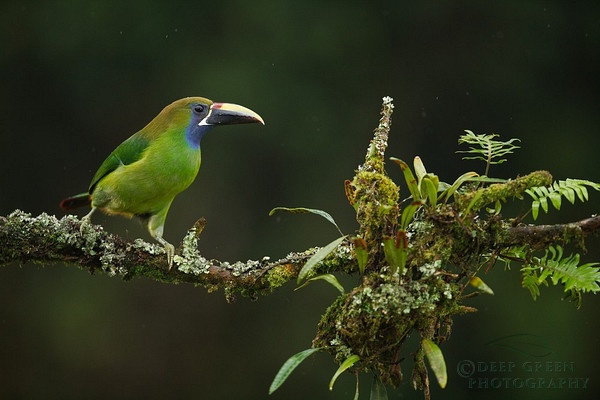 Blue-Throated Toucanet: Emeralds Toucan, Happy Birds, Green Photography, Birds Photography, Forests Birds, Birds Photos, Front Yard, Angry Birds, Rica Birds