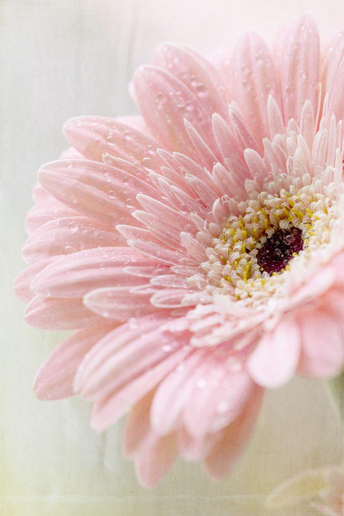 Pink Gerbera Daisy (by ~ jessica ~)