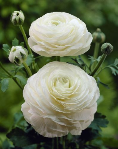 Ranunculus Asiaticus White; Hardy, perennial. Thrives in sun or shade with moist but well-drained soil. A good choice for borders, pots and containers.