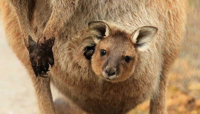 Once You See Inside A Kangaroo's Pouch, There's No Going Back
