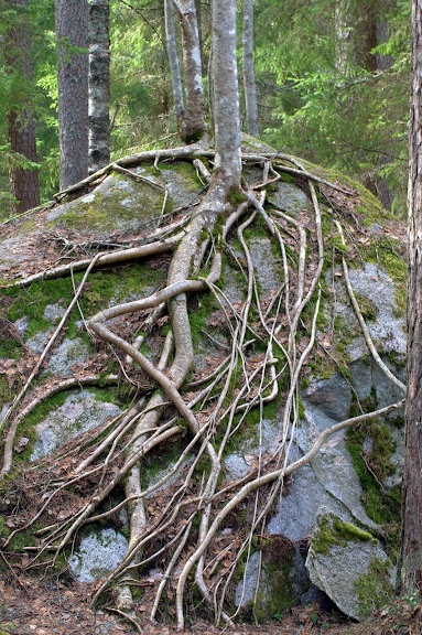 Roots - Liesjarvi National Park Finland