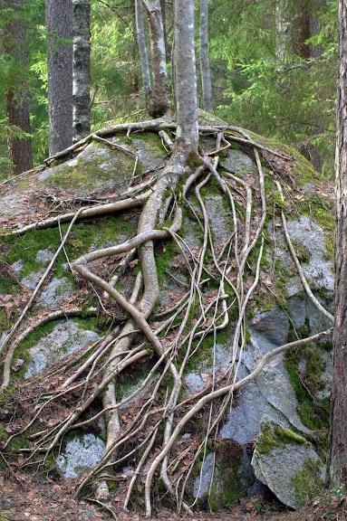 Roots - Liesjarvi National Park Finland