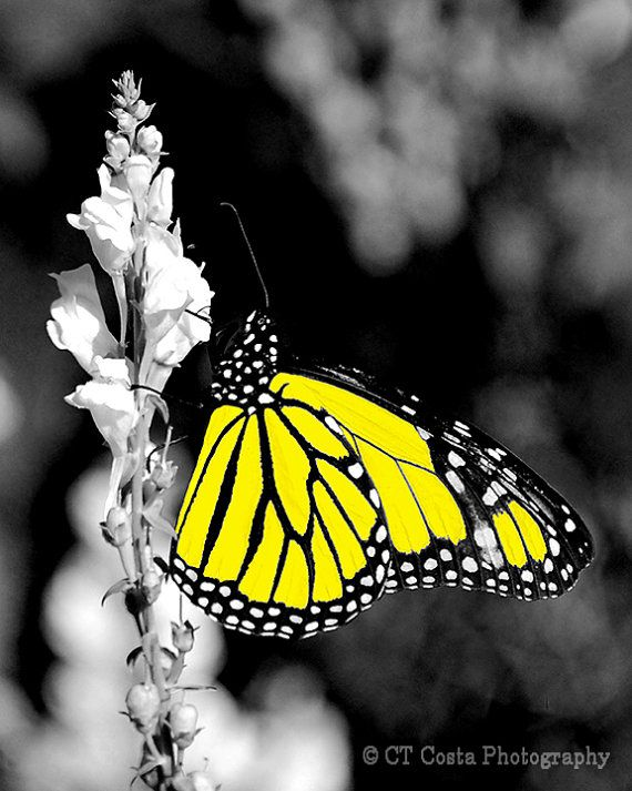 Yellow Butterfly Fine Art Print Butterfly by CTCostaPhotography, $35.00