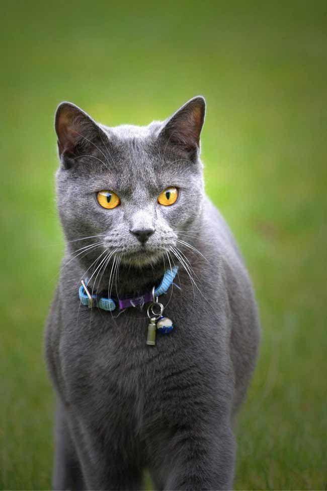 Шартрез: фото кошки, цена, описание породы, характер ...