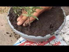 En este video te mostrare como reproducir la planta de lavanda por medio de semillas y esquejes de una forma muy facil, espero te guste este video,