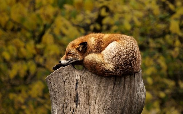 Free photo: Fox, Tree, Stump, Sleeping, Resting - Free Image on Pixabay - 1284512