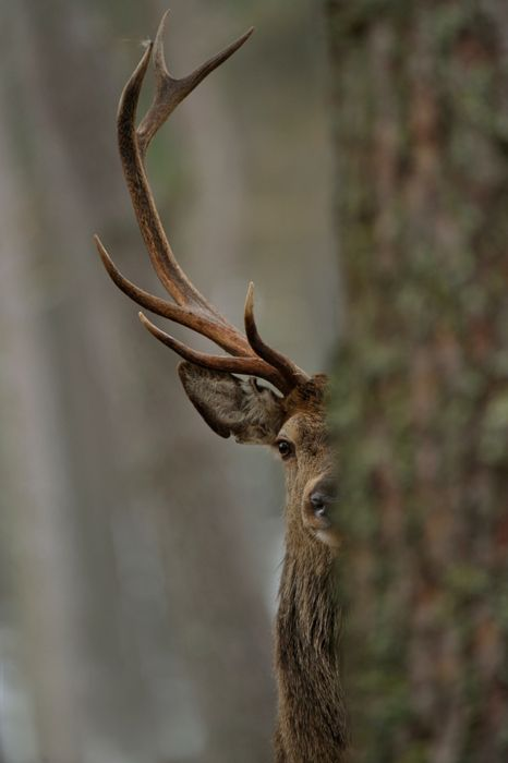 stag☜♥☞: Nature, Antlers, Hunting, Baby Animal, Each, Peekaboo, Photo, Peek A Boo, Deer