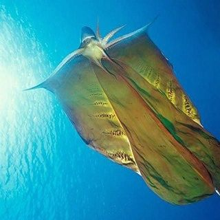 """Blanket Octopus - found in the open seas of the Mediterranean and the N and S Atlantic Ocean. The """"blanket"""" is a defense mechanism, as they do not have ink to ward off predators. It will unfurl its blanket, making it look significantly larger and intimidating. It is immune to the poison of the Portuguese man o' war, known for its deadly venom. Taking advantage of their immunity, Blanket Octopuses will rip off the Man o' war's tentacles and use them to defend themselves from attacks."""