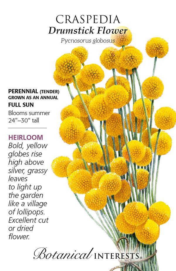 Drumstick Flower Craspedia Seeds In 2020 Flowers Beautiful Flowers Images Growing Gardens