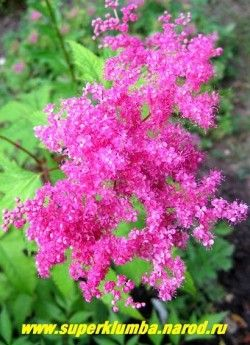 """ЛАБАЗНИК ПУРПУРНЫЙ """"ЭЛЕГАНС"""" (Filipendula x purpurea ''Elegans'') лабазник с темно-малиновыми цветами, собранными в пышные соцветия. Красивые пальчатые листья, аккуратный невысокий куст не выше 1 метра. НОВИНКА!  ЦЕНА 350 руб  (делёнка)"""