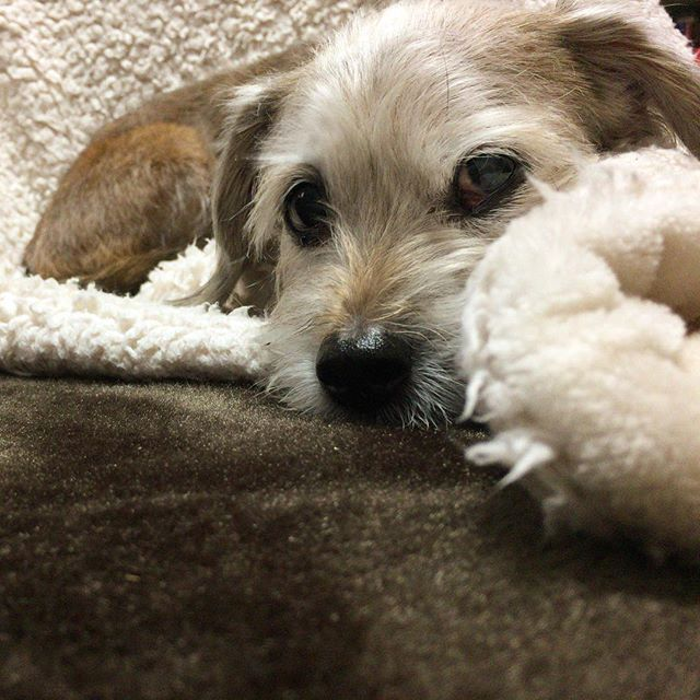 寝るから邪魔しないでよと言うもんちゃん。 きゃわゆ。寝てるもんちゃんに頭くっつけて寝るのが好き。  #本日のもんちゃん #テリアミックス #ダックステリア #ヨークス #ダッキー #ミックス犬 #ミックス犬同好会 #愛犬 #実家犬 #わんこ #いぬばか #いぬバカ部 #癒しわんこ #dog #dogstagram #dogsofinstagram #dogsofinsta #doglover #terrier #terrierlove #terriermix #terriersofig