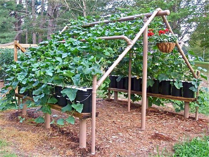 Pvc Plans Cucumber Trellis Vegetable Garden Pinterest