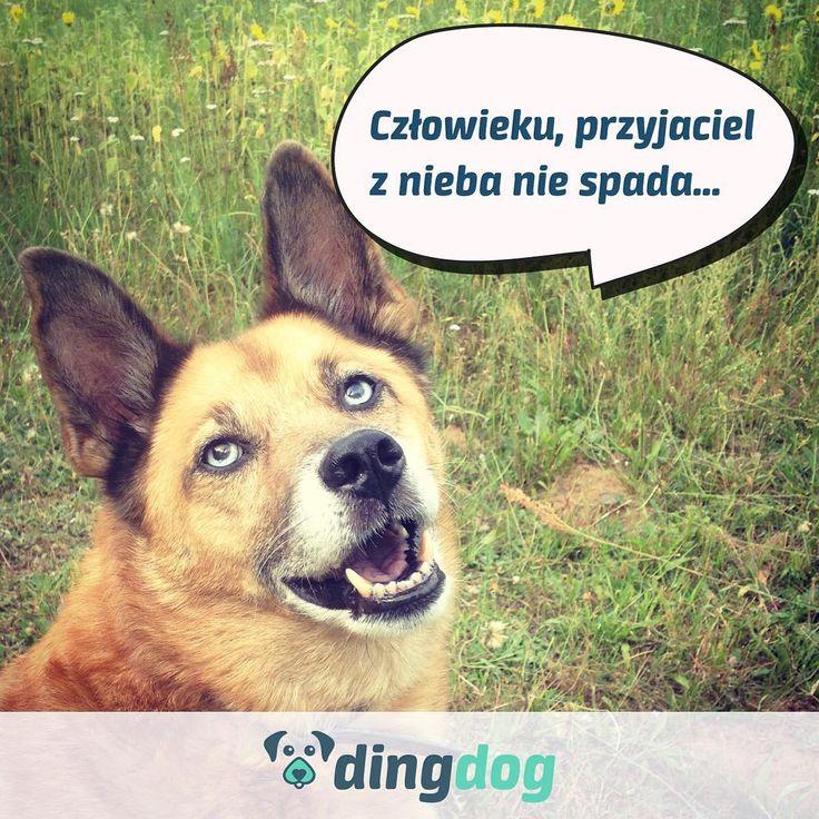 Przyjaciel... Może uda się go znaleźć na DingDog? #DingDog #startup #aplikacja #dog #friend