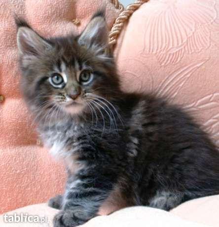 kocięta maine coon- bardzo duże i masywne koty! w Markach - image 1