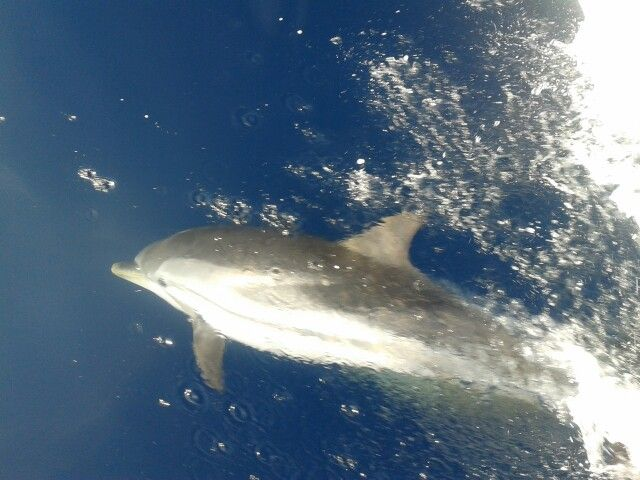 Dolphin following s/y Thetis