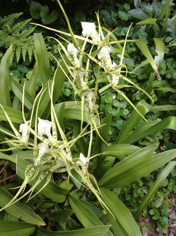 Native Australian spider orchid