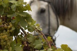 Alcovin - Horse in vineyard