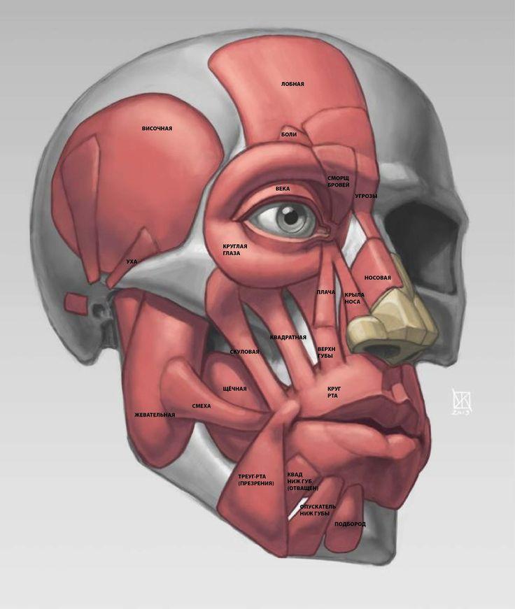 мышцы-лица