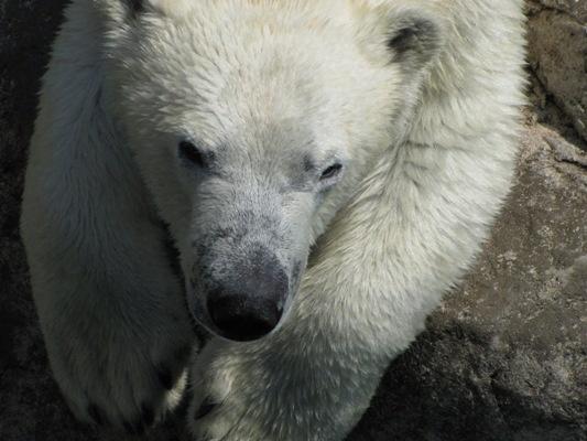 Cochrane Polar Bear Habitat - Cochrane, Ontario Canada