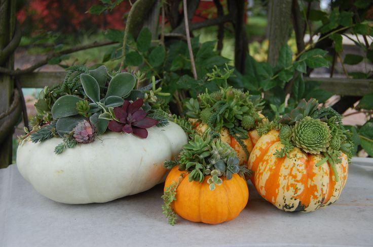 Succulent pumpkins great for fall decor!