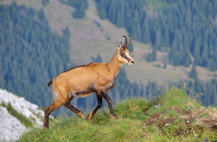 Image result for carpathian chamois