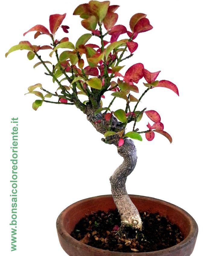Euonymus alatus in autunno le foglie assumono un colore rosa brillante..  Esemplare altezza 24 cm, provenienza Giappone  #bonsai #euonymusbonsai #autunnobonsai