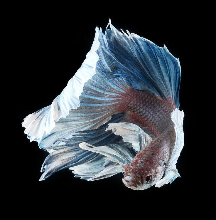 Contemplez la grâce sublime des poissons combattants à travers leur danse…