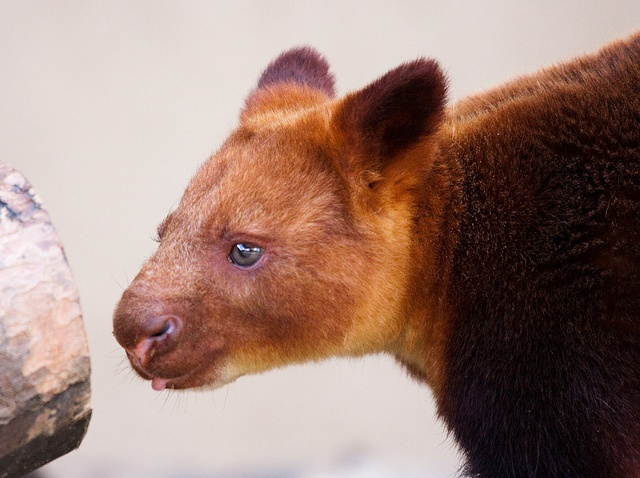 Tree Kangaroo staring at a log by San Diego Shooter, via Flickr: Photo