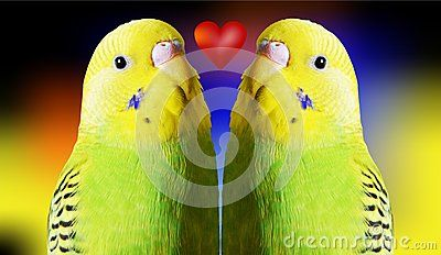 Two isolated parrots and a red heart on gradient background, love concept.