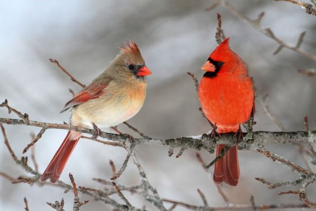 Pair of Northern Cardinal in a tree.
