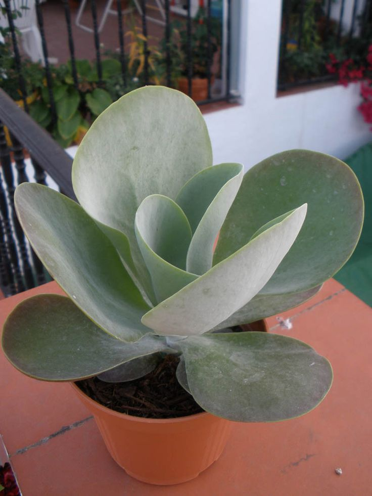 Kalanchoe thyrsiflora - I have a beautiful specimen of this plant in a succulent garden from my friend Henri.