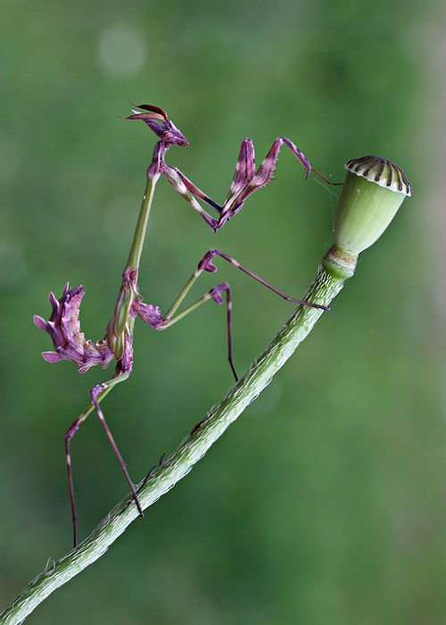 "Empusa Fasciata by lisans. ""Due to its bizarre shape and the yellowish-green striped pattern of the legs, E. fasciata is well-camouflaged in vegetation, and is noticeable only when in motion."" https://en.wikipedia.org/wiki/Empusa_fasciata #Insects #Praying_Mantis"