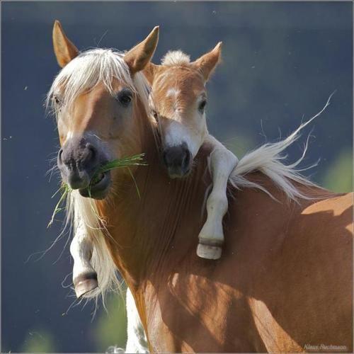 Cavalo com potro - Lindo momento de carinho entre els!