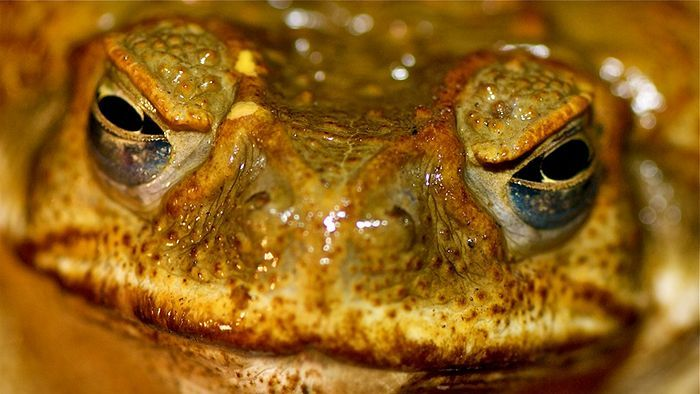 Scientists race the clock to protect lizards from cane toad attacks