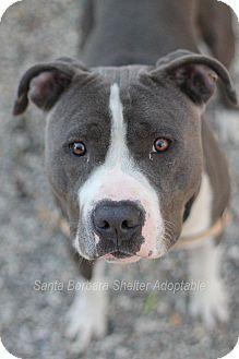 Goleta, CA - Pit Bull Terrier Mix. Meet Adam, a dog for adoption. http://www.adoptapet.com/pet/11782172-goleta-california-pit-bull-terrier-mix