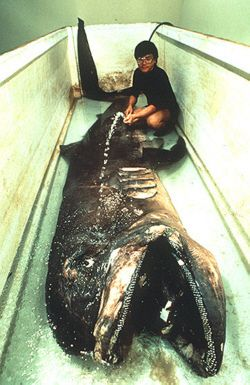 The megamouth shark is an extremely rare and unusual species of deepwater shark. Discovered in 1976, only a few have ever been seen, with 39 specimens known to have been caught or sighted as of 2007 and three recordings on film.